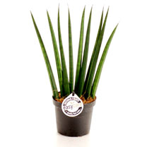 Sansevieria Cylindrica Fan Plant