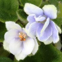 Saintpaulia Plant - Jolly Orchid