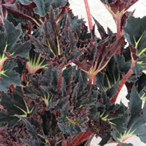 Begonia Plant - Black Fang