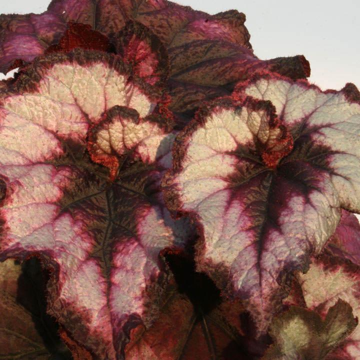 Begonia Plant - Blackberry Swirl