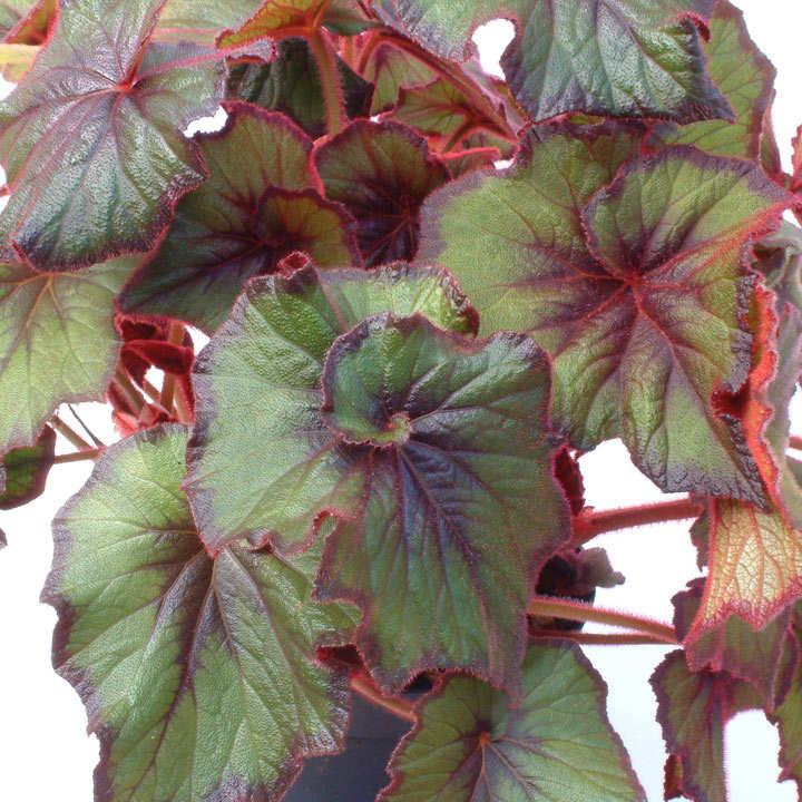 Begonia Plant - Curly Fireflush