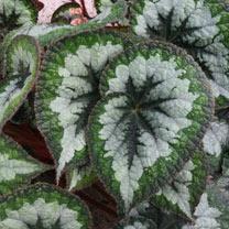 Begonia Plant - Emerald Giant