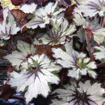 Begonia Plant - Green Gold