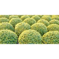 Chrysanthemum Plant - Yellow