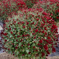 Chrysanthemum Plant - Red
