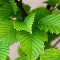 Carpinus betulus Plants - 20 x 2 Litre Pots