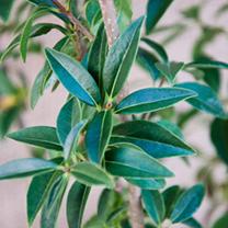 Ligustrum vulgare Potted Plants