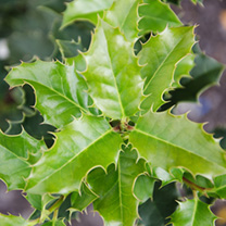 Ilex aquifolium Potted Plants