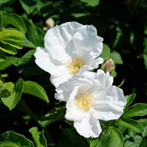 Rosa rugosa Bare Roots - White