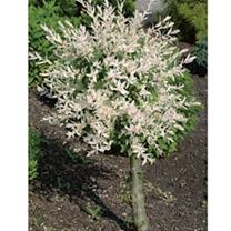 Salix Plant - Albo Maculata