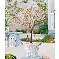 Prunus Plant - Kojo-No Mai