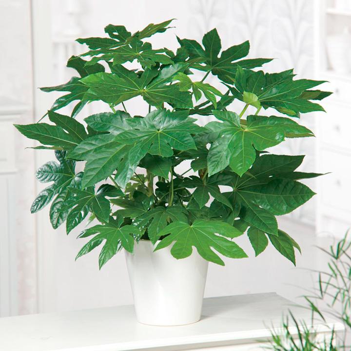 Fatsia Plant - Japonica