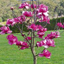 Magnolia Plant - Felix Jury
