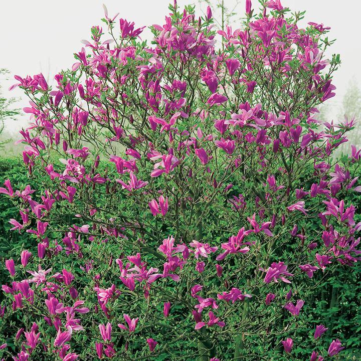 Magnolia Plant - Vulcan