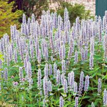 Agastache Plant Blue Fortune