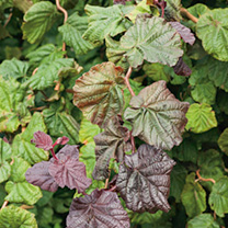 Corylus Plant - Red Majestic