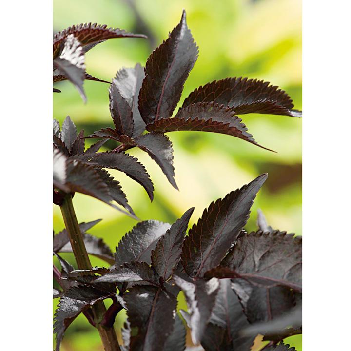 Sambucus nigra Plant - Black Beauty®