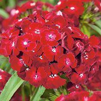Dianthus Plant - Dash Crimson