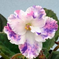 Saintpaulia Plant - Ae-Amur Elite