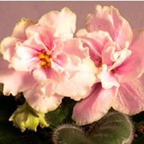 Saintpaulia Plant - Ek-Lubasha