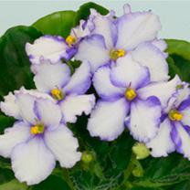 Saintpaulia Plant - Favorite Child