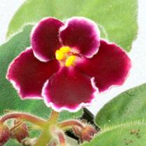Saintpaulia Plant - Mac's Glacial Grape