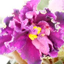 Saintpaulia Plant - Purple Passion