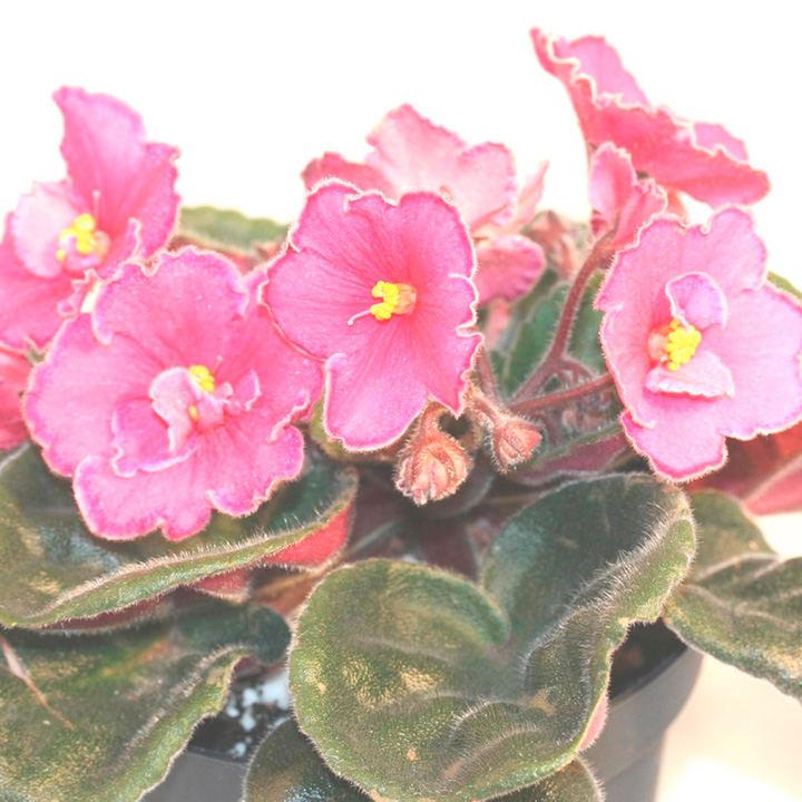Saintpaulia Plant - Tula