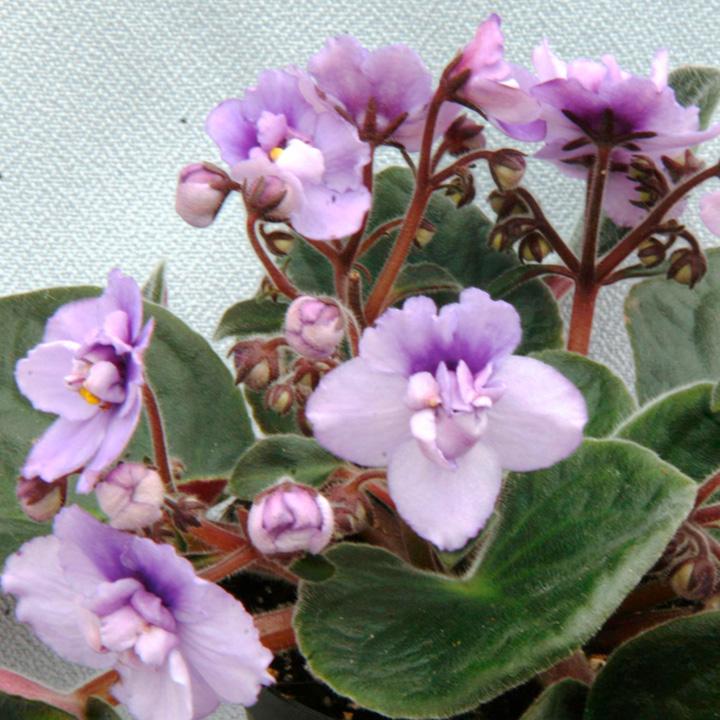 Saintpaulia Plant - Wisteria