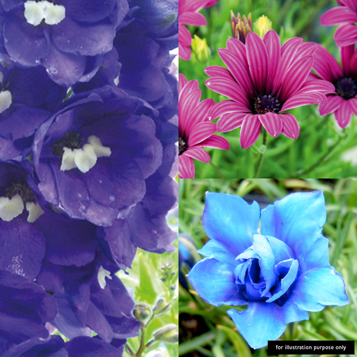 Perennial Blue & Purple Plants - Collection