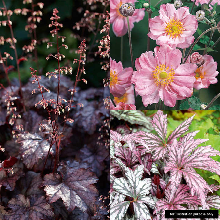 Perennial 'Made For Shade' Plants - Collection