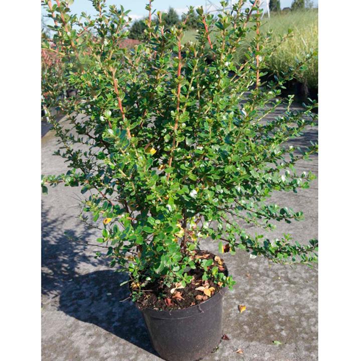 Escallonia Plant - Apple Blossom