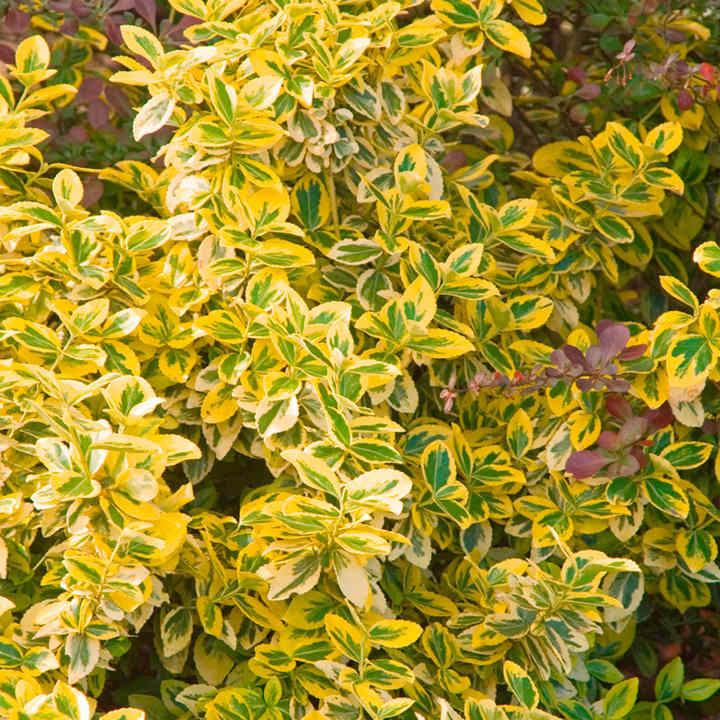 euonymus plant emerald 39 n 39 gold trees and shrubs. Black Bedroom Furniture Sets. Home Design Ideas