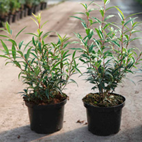Sarcococca Plant - Winter Gem