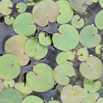 Hydrocharis morsus ranae Plants