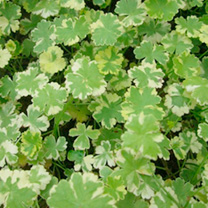 Hydrocotyle sibthorpioides variegata Plant