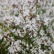 Lychnis flos-cuculis Plant - White Robin