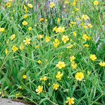 Ranunculus flammula Plant