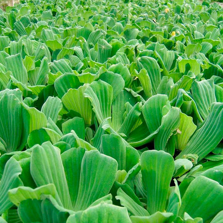 Pistia stratiotes plants floating aquatic plants for Floating pond plants