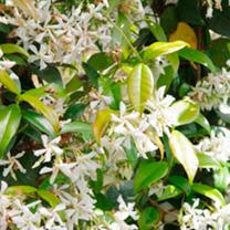 Trachelospermum jasminoides Plant