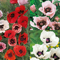 Poppy Mixed (10) + Catalogue