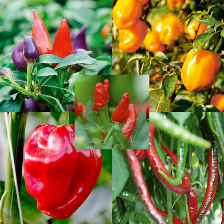 Pepper (Chilli) Plant Collection