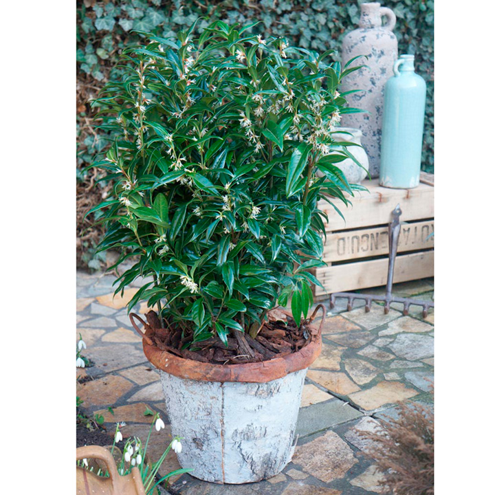 Sarcocca Plant - Winter Gem
