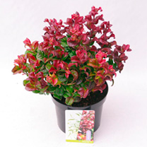 Leucothoe Plant - Curly Red