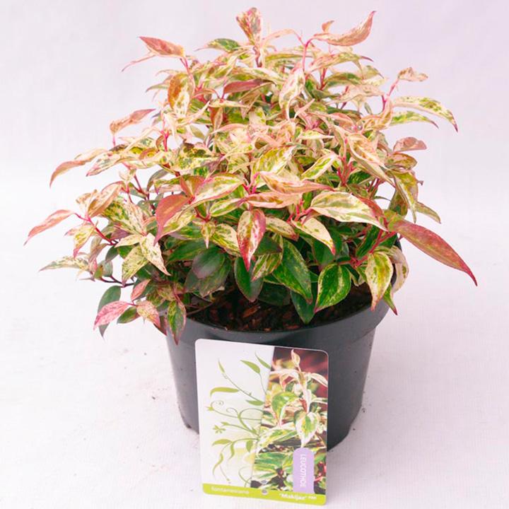 Leucothoe Plant - Makiejaz