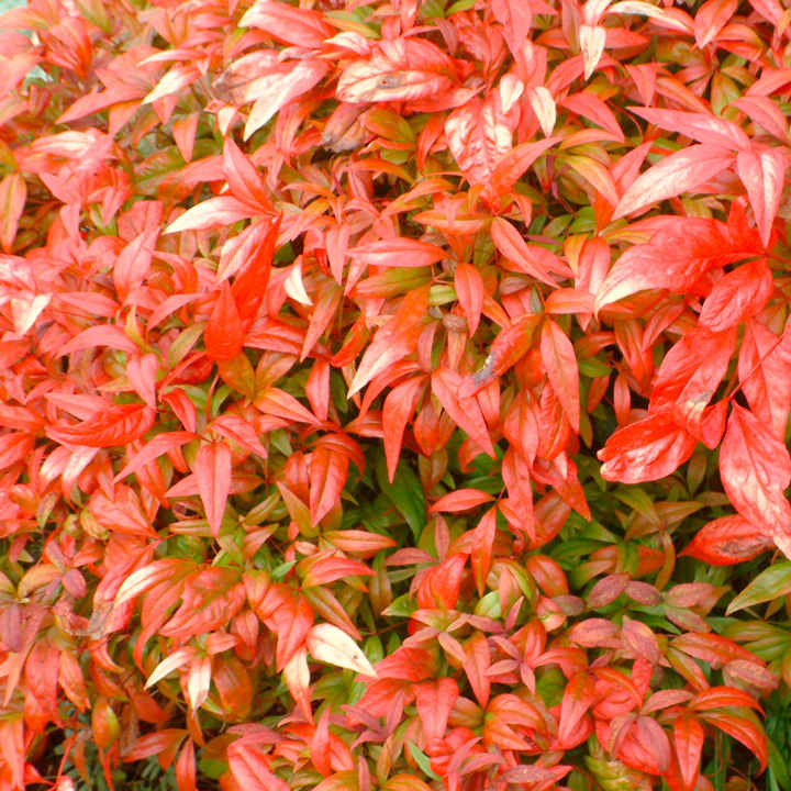 nandina firepower trees and shrubs flowers garden dobies. Black Bedroom Furniture Sets. Home Design Ideas