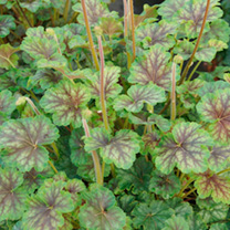 Heuchera Plant - Thomas