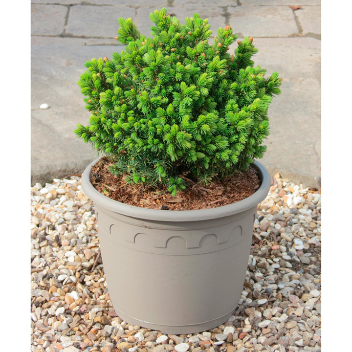 Conifer Plant - Picea Lilliput