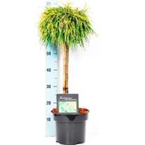 Conifer Plant -  Chameacyparis Filifera Aurea