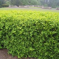 Buxus Sempervirens Plants - 20 x 2 Litre Pots